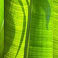 Green Leaf by Setsiri Silapasuwanchai