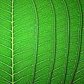 Green Leaf Texture by Natthawut Punyosaeng