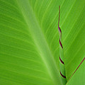 Green Leaf With Spiral New Growth by Nikki Marie Smith
