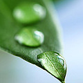 Green Leaf With Water Drops by Elena Elisseeva