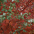 Green Leaves Against Red Leaves by Mick Anderson