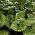 Green Leaves by Douglas Barnard
