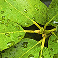 Green Leaves With Water Droplets by Randall Nyhof