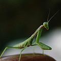 Green Mantis by Alessandro Della Pietra