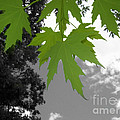 Green Maple Leaves by Mary Mikawoz