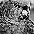 Green Parrot - Bw by Christopher Holmes