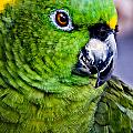Green Parrot by Christopher Holmes