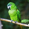 Green Parrot by Randy Harris