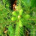 Green Pine Needles 2 by AmaS Art