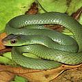 Green Racer Drymobius Melanotropis Amid by Michael & Patricia Fogden