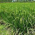 Green Rice Field In Taiwan by Yali Shi