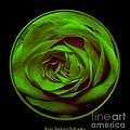 Green Rose On Black by Rose Santuci-Sofranko