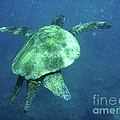 Green Sea Turtle 1 by Bob Christopher