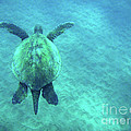 Green Sea Turtle 3 by Bob Christopher