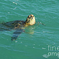 Green Sea Turtle 4 by Bob Christopher