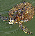 Green Sea Turtle by Kenneth Albin