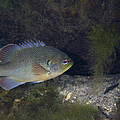 Green Sunfish Swimming Along The Rocky by Michael Wood