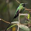 Green Tailed Trainbearer Hummingbird Stylized by Bill Dodsworth