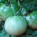 Green Tomatoes On The Vine by Mother Nature