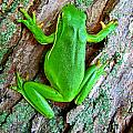 Green Tree Frog by Debbie Portwood