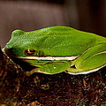 Green Tree Frog by James Granberry