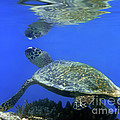 Green Turtle by MotHaiBaPhoto Prints
