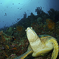 Green Turtle On Reef, Manado, North by Mathieu Meur