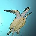 Green Turtle Swimming, Sabah, Malaysia by Mathieu Meur