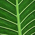 Green Veiny Leaf 1 by Mike Nellums