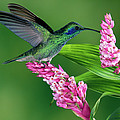 Green Violet-ear Colibri Thalassinus by Michael & Patricia Fogden
