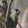 Green Woodpecker by Bob Kemp