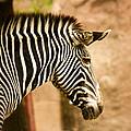 Grevys Zebra by Linda Tiepelman
