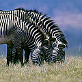 Grevy's Zebra by Louise Murray