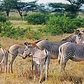 Grevy's Zebras No. 2 by Belinda Greb