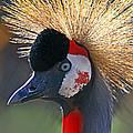 Grey-crowned Crane by David Salter