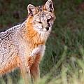 Grey Fox - Vantage Point by Travis Truelove