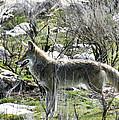 grey Fox 2 by Marilyn Hunt
