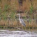 Grey Heron by Tony Murtagh
