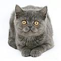 Grey Kitten by Mark Taylor