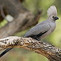 Grey Lourie by Tony Camacho