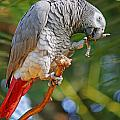 Grey Parrot by Randy Harris