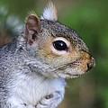 Grey Squirrel by Colin Varndell