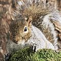 Grey Squirrel by David Aubrey