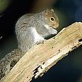 Grey Squirrel Feeding by Duncan Shaw