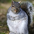 Grey Squirrel Sitting On The Ground by Colin Varndell