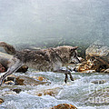 Grey Wolf Jumping Over A Mountain Stream by Louise Heusinkveld