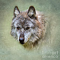Grey Wolf Portrait by Louise Heusinkveld