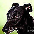 Greyhound by The DigArtisT