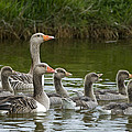 Greylag Goose Anser Anser Couple by Willi Rolfes