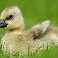 Greylag Goose Gosling by Cyril Ruoso